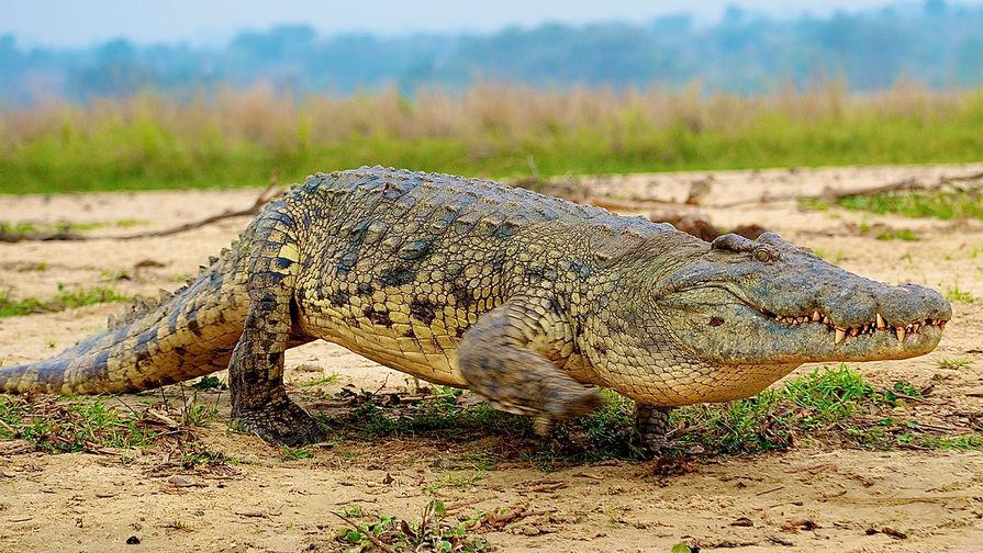 Во время тренировки футбольного клуба MLS на поле выбежал крокодил
